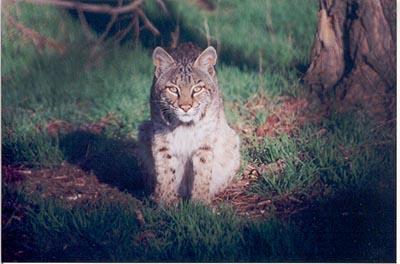 Bobcat near Wichita, KS, Photo by Bill Hessman
