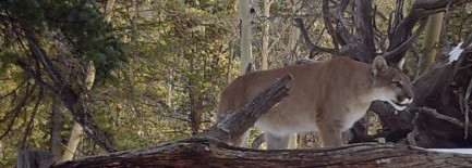 Cougar in Victor, CO, Photo by Bill Hessman