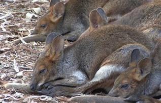 Grey Kangaroos in Brisbane, Aus, Photo by Bill Hessman