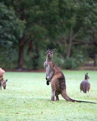 Kangaroo in Western Australia, Photo by Bill Hessman