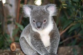 Koala in Brisbane, Aus, Photo by Bill Hessman